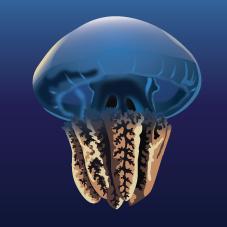 Blubber Jellyfish (Catostylus mosaicus)