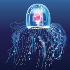Immortal Jellyfish (Turritopsis dohrnii)