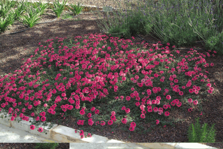 Figure 9: Trailing Verbina (Verbina peruviana), a water conserving solution for a colorful ground cover.