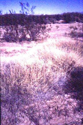 Fig. 3: A creosote bush (Larrea tridentata)  community in the Tucson area.