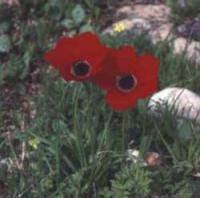 Common Anemone (Anemone coronaria)