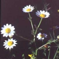 Palestine Chamomile (Anthemis palaestina)