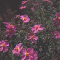 Pink Rock-Rose (Cistus creticus)