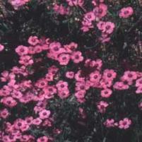 Pink Flax (Linum pubescens)