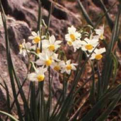 Polyanthus Narcissus (Narcissus tazetta)
