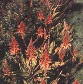 Golden-tooth Aloe (Aloe nobilis)