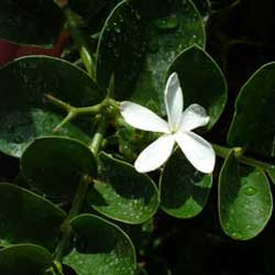 Intal plum (Carissa macrocarpa)