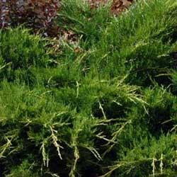 Juniper (Juniperus horizontalis)