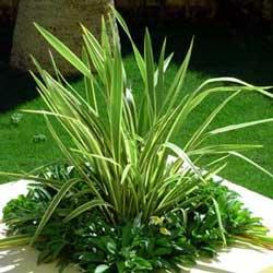 New Zealand Flax (Phormium tenax)