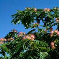 Silk Tree (Albizia julibrissin)