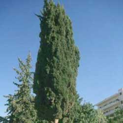 Italian Cypress (Cupressus sempervirens var 'Stricta')