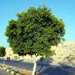 Laurel Fig (Ficus nitida)