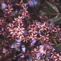Chinaberry (Melia azedarach)