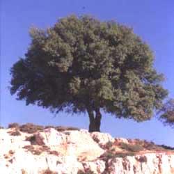 Common Oak (Quercus coccifera)