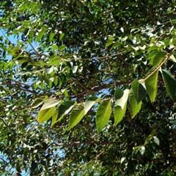 Scotch Elm (Ulmus glabra)