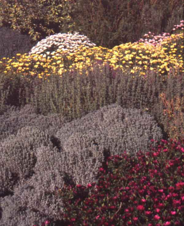An example of a water conserving garden that incorporates drought tolerant plants including Marguerite ( Argyranthemum frutescens ) ,  Rosemary   ( Rosmarinus officinalis ), and Lavender Cotton ( Santolina chamaecyparissus ).