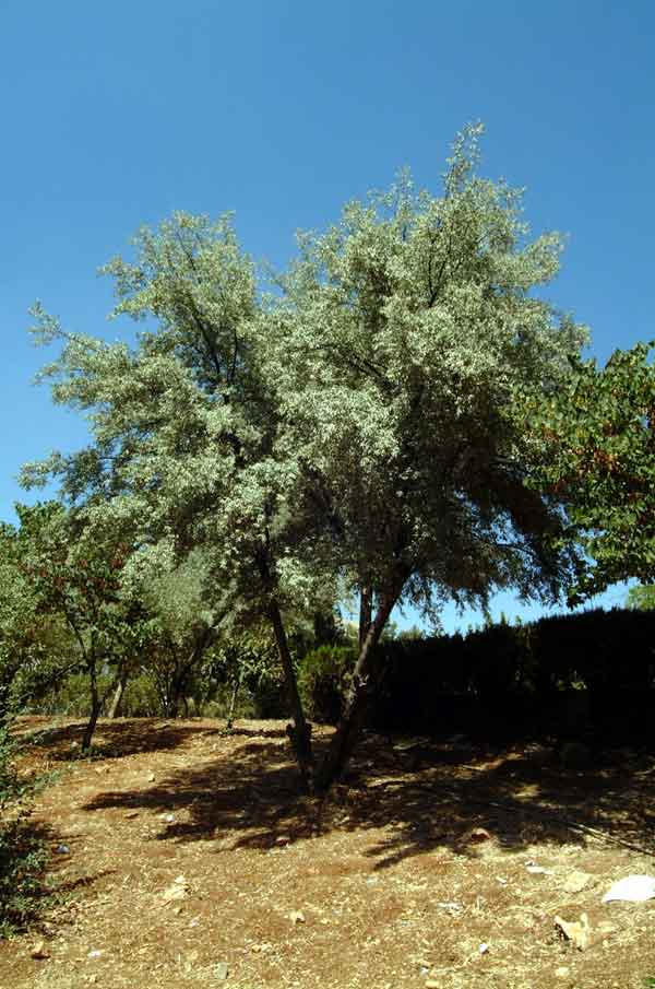 Russian Olive Tree ( Elaeagnus angustifolia ):   A drought tolerant tree distinguished by its fragrant summer flowers and silver foliage. (image credit: Osman Akoz)