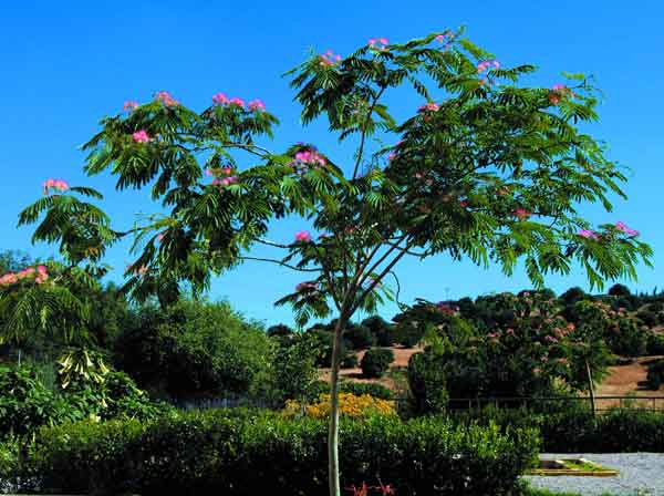 Silk Tree ( Albizia julibrissin ): A drought tolerant deciduous specimen tree.  Provides filtered shade and is distinguished by its pink flowers. Grows up to six meters in height. (image credits: Osman Akoz)