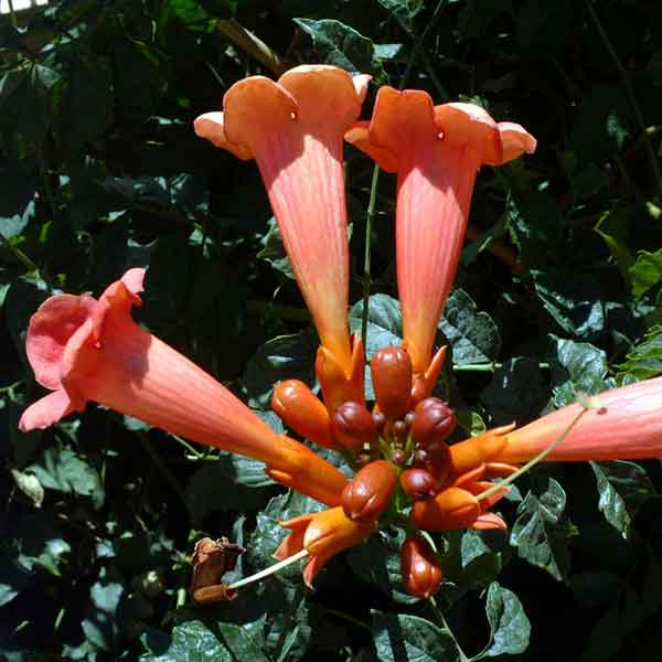 Trumpet Vine ( Campsis radicans) : A drought tolerant deciduous vine or shrub. Fast growing and prefers full sun; grown for its striking orange flowers. Suitable for southern exposures. (image credits: Osman Akoz)