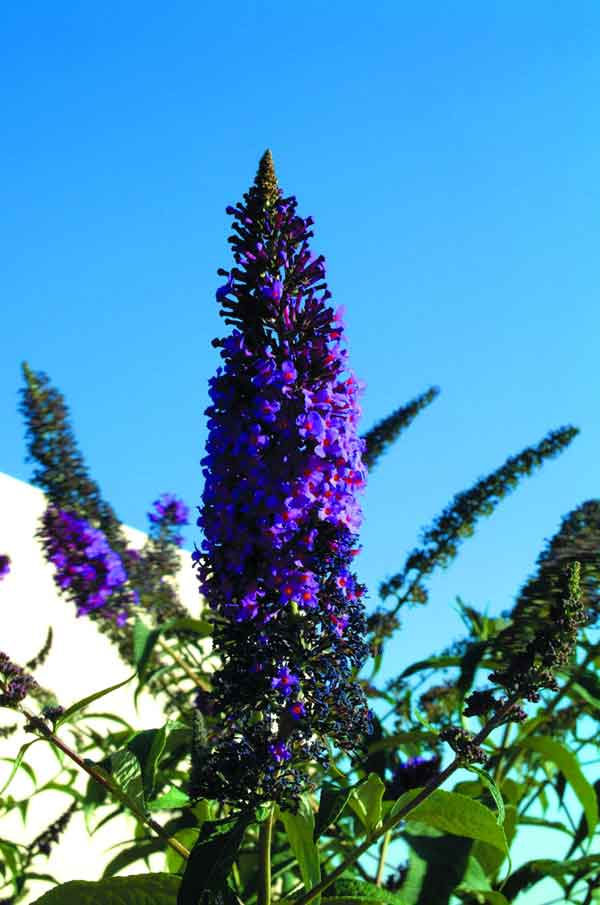 Butterfly Bush ( Buddleia davidii ): A drought tolerant deciduous shrub. It functions as an accent plant that is suitable as a solitary plant or in groups.  Has white, violet, or pink flowers, and attracts butterflies. Grows in full sun.(image credits: Osman Akoz)