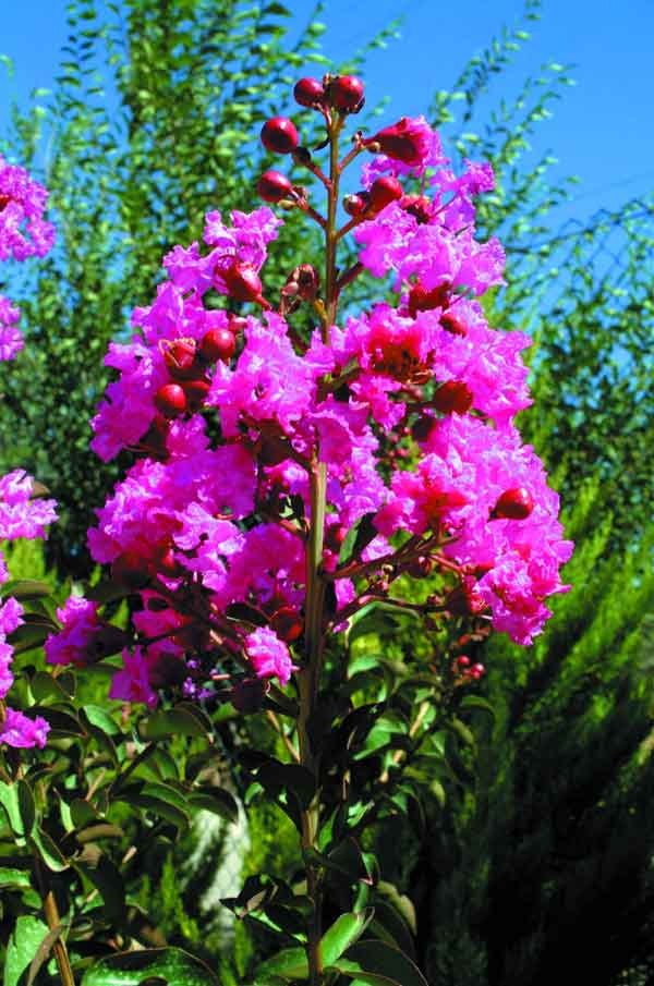 Crape Myrtle ( Lagestroemia indica ):   A small drought tolerant deciduous tree distinguished by its pink, lilac, or white flowers.  Suitable as a solitary tree or in groups. (image credits: Osman Akoz)