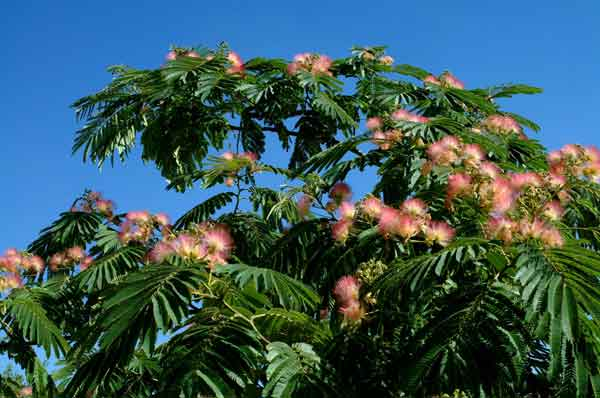 Albizia julibrissin  (Silk Tree): a drought tolerant deciduous specimen tree; provides filtered shade and distinguished by its pink flowers. (image credit: Osman Akoz)