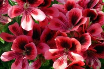 Pelargonium domesticum  (Regal Geranium): a drought tolerant evergreen perennial; requires low watering (twice a month); is suitable as a shrub or groundcover; also effective in pots and window beds. (image credit: Osman Akoz)