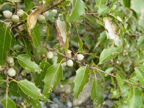 Image source:http://treesplanet.blogspot.com/2014/03/quercus-cerris-turkey-oak.html#.WrD_pGpuapo