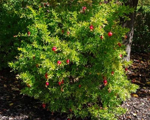 Image source:https://www.gardensonline.com.au/GardenShed/PlantFinder/Show_1586.aspx