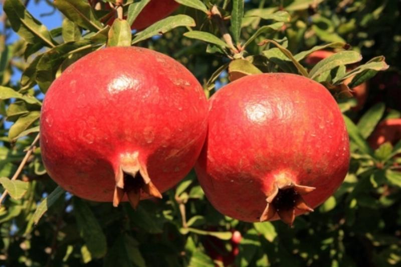 Image source:https://medium.com/@mdashikurr2/sugar-and-anthocyanin-characterization-of-four-iranian-pomegranate-punica-granatum-l-98665a42f32f
