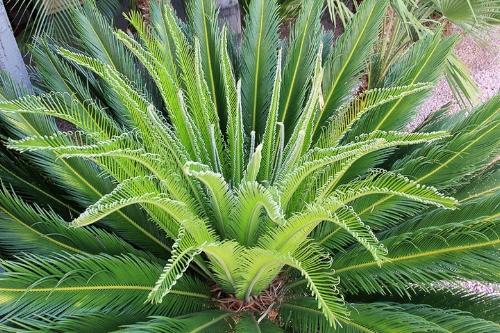 Image source:https://www.gardenia.net/plant/Cycas-revoluta-Cycad
