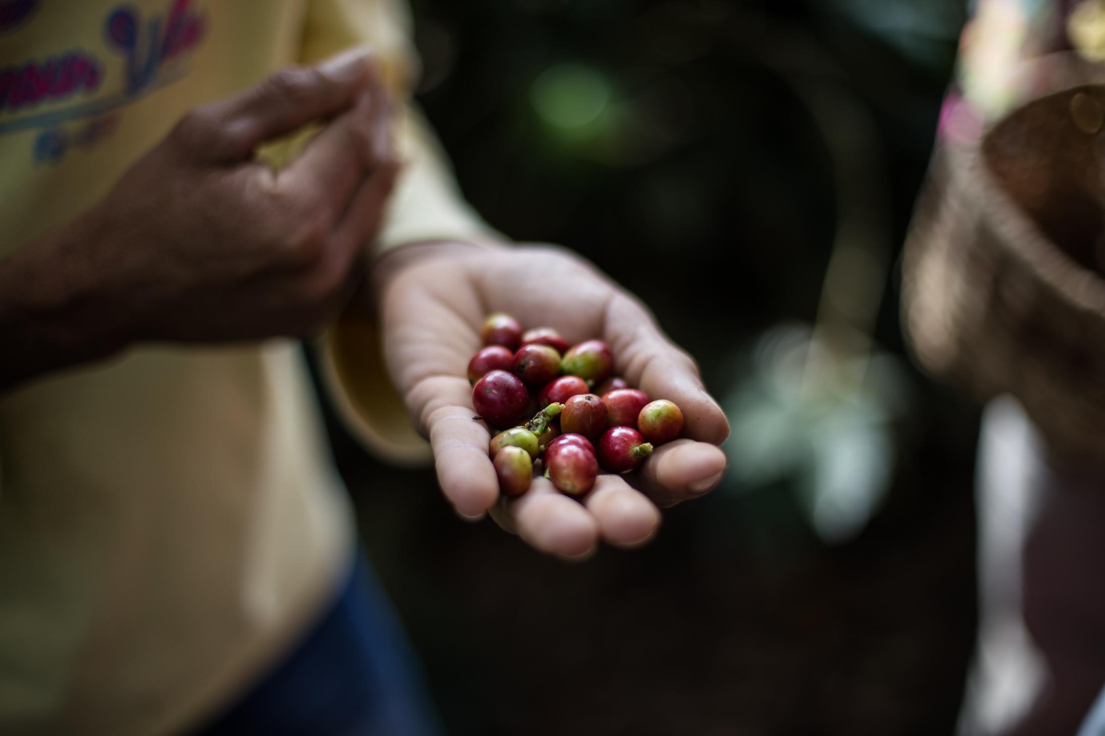 salento coffee cherries colombia