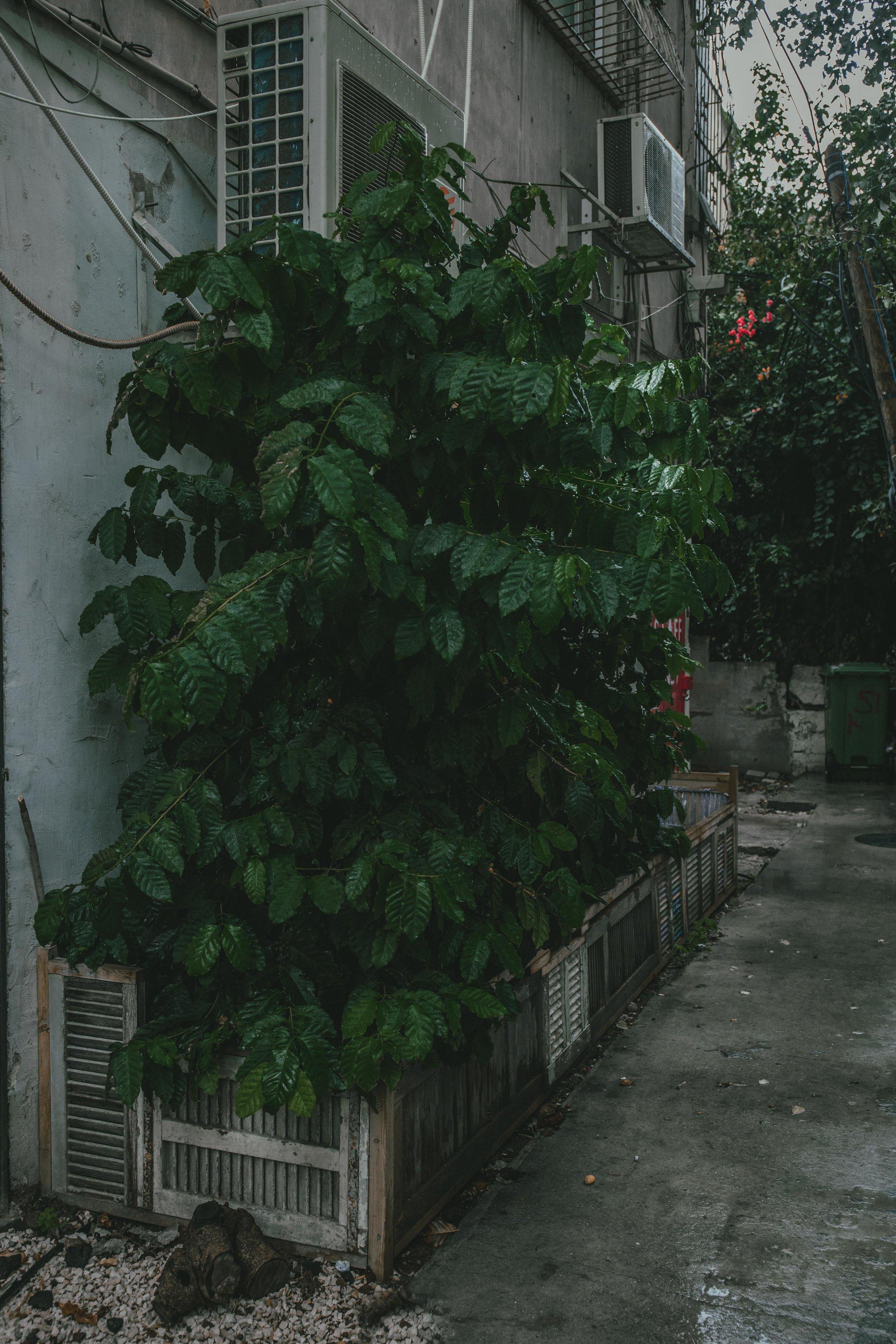 Arabica coffee tree growing in the garden