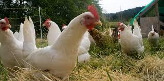 Cluck, cluck, hen....