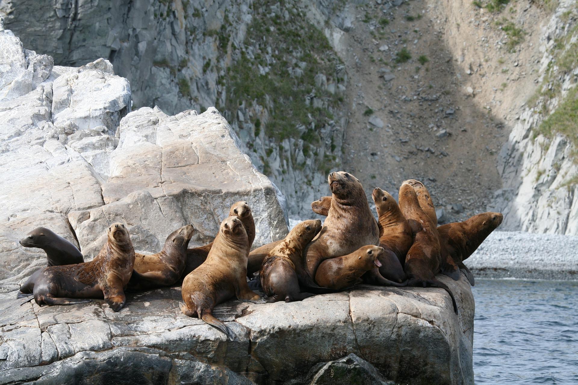 A harem of sea lions.