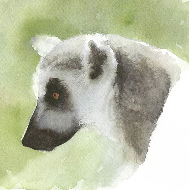 Watercolor ring-tailed lemur  #watercolor #lemur #animalart #Madagascar #wildlife