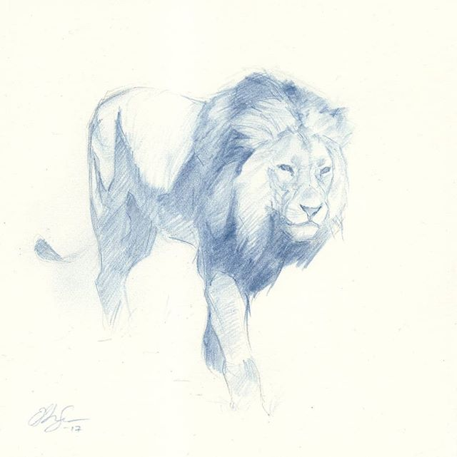 Lion study in blue 2  #drawing #lion #blue #Prismacolor #wildlife #animalart
