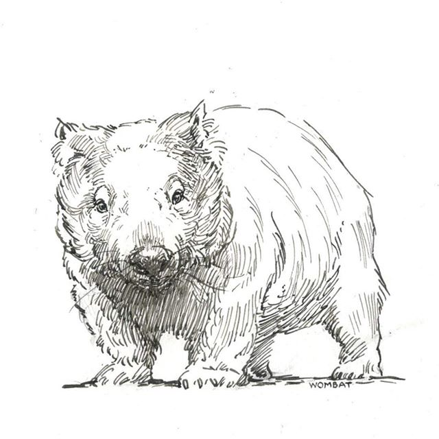 Wombat #ink #marsupials #burrow #wombat #pen #animalart #wildlifeart #drawing
