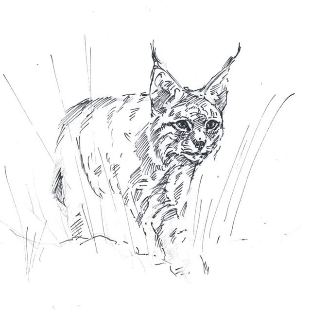 Lynx kitten #ink #sketch #lynx #cat #animalart #wildlifeart #drawing #traditionalart