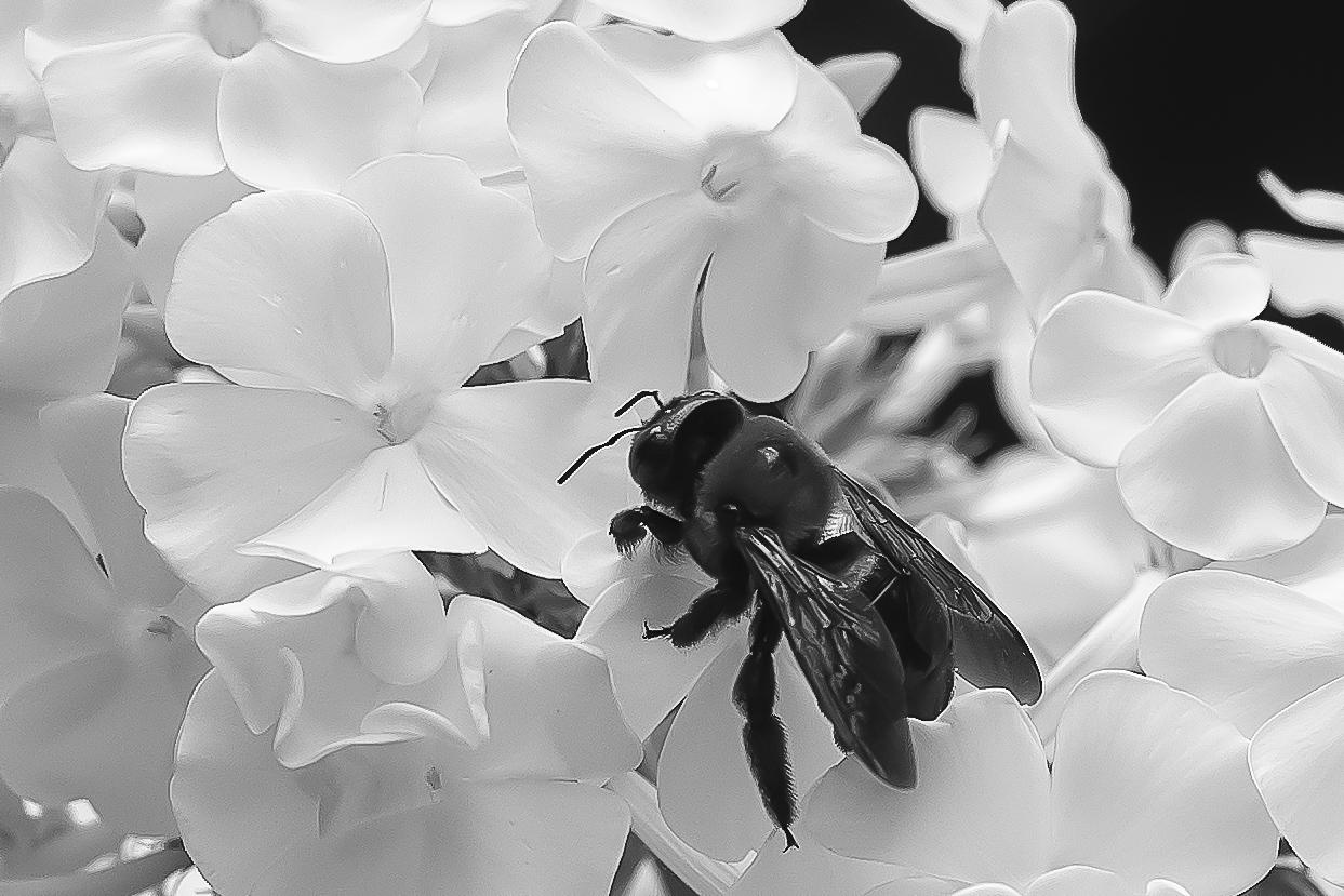 Bee in the Phlox 1124
