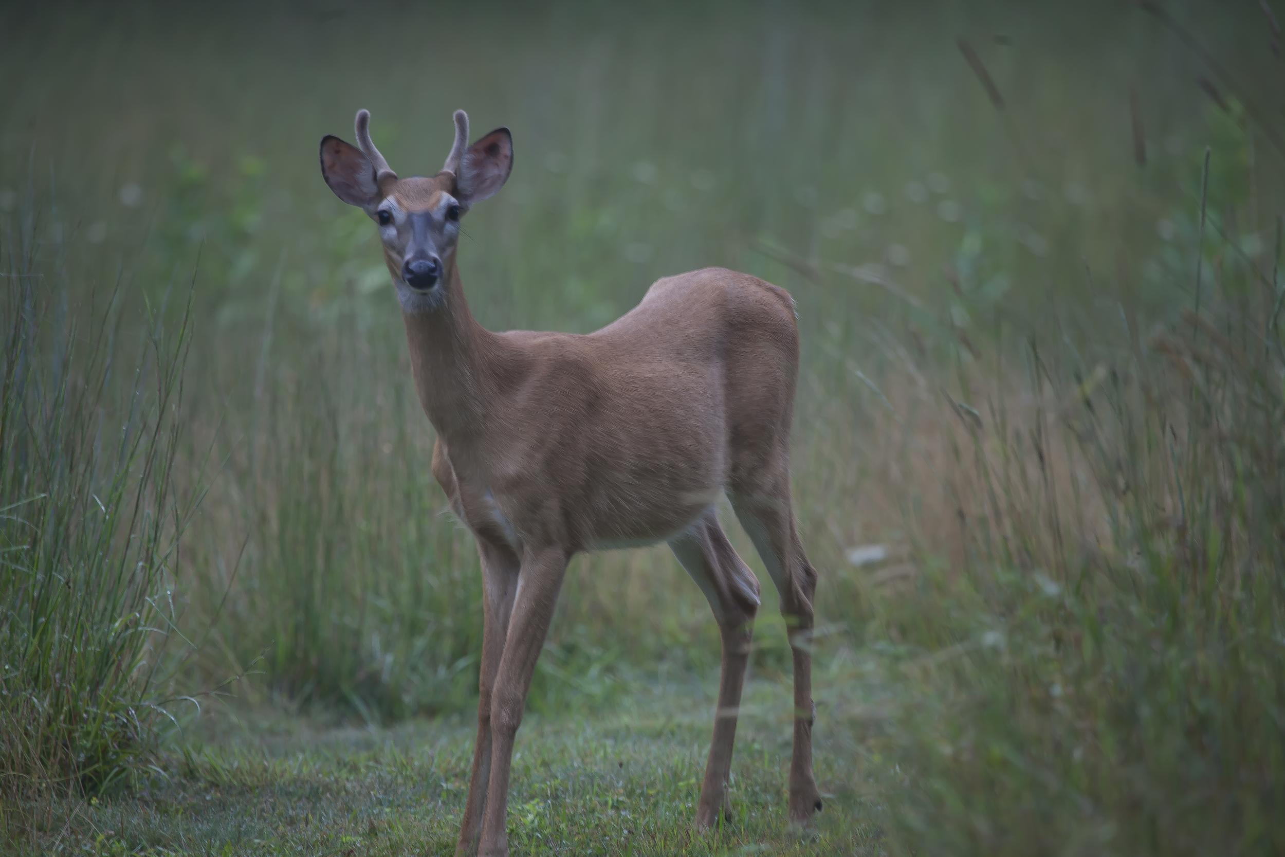 Staring Deer 1145