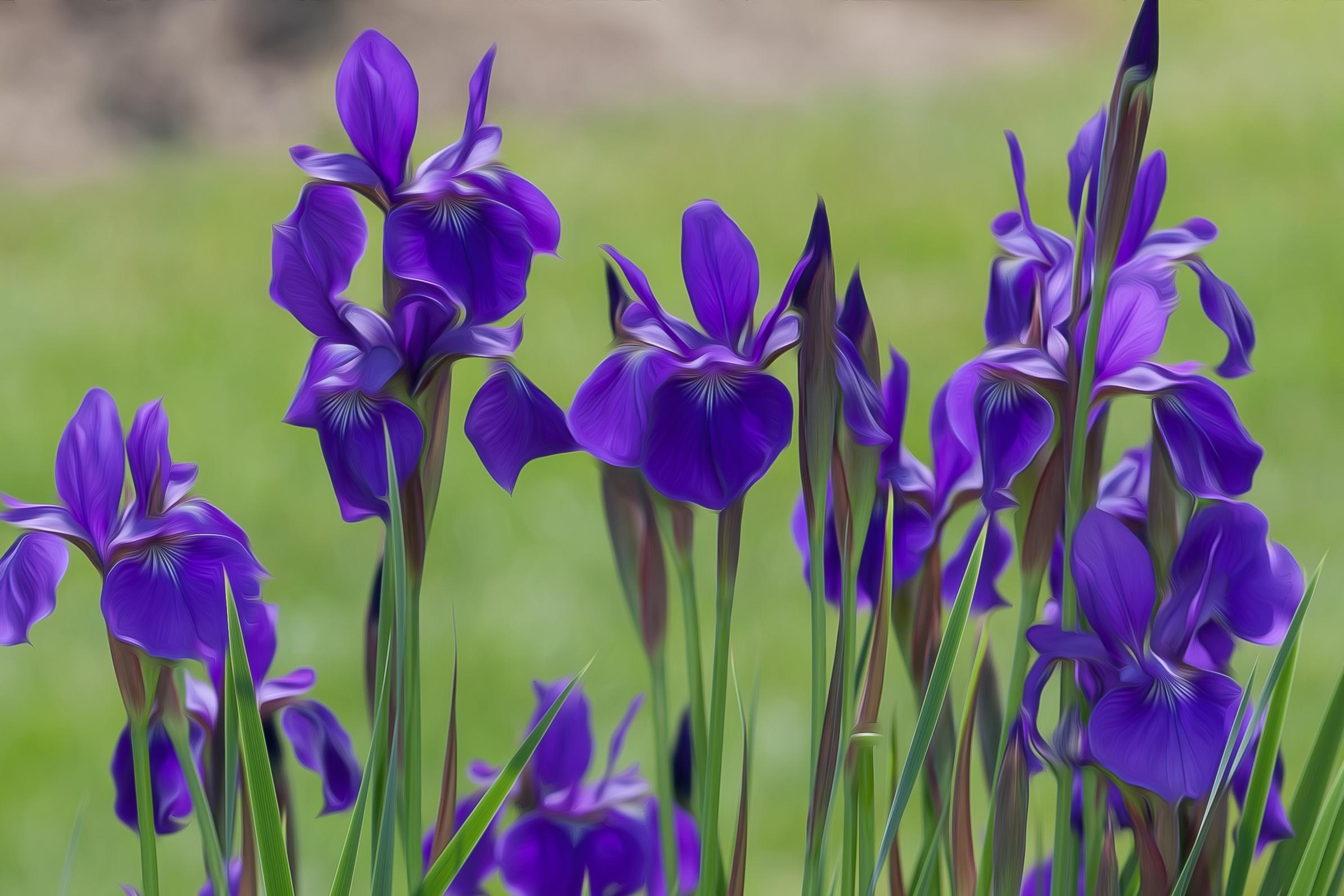 Arrogant Irises 1109