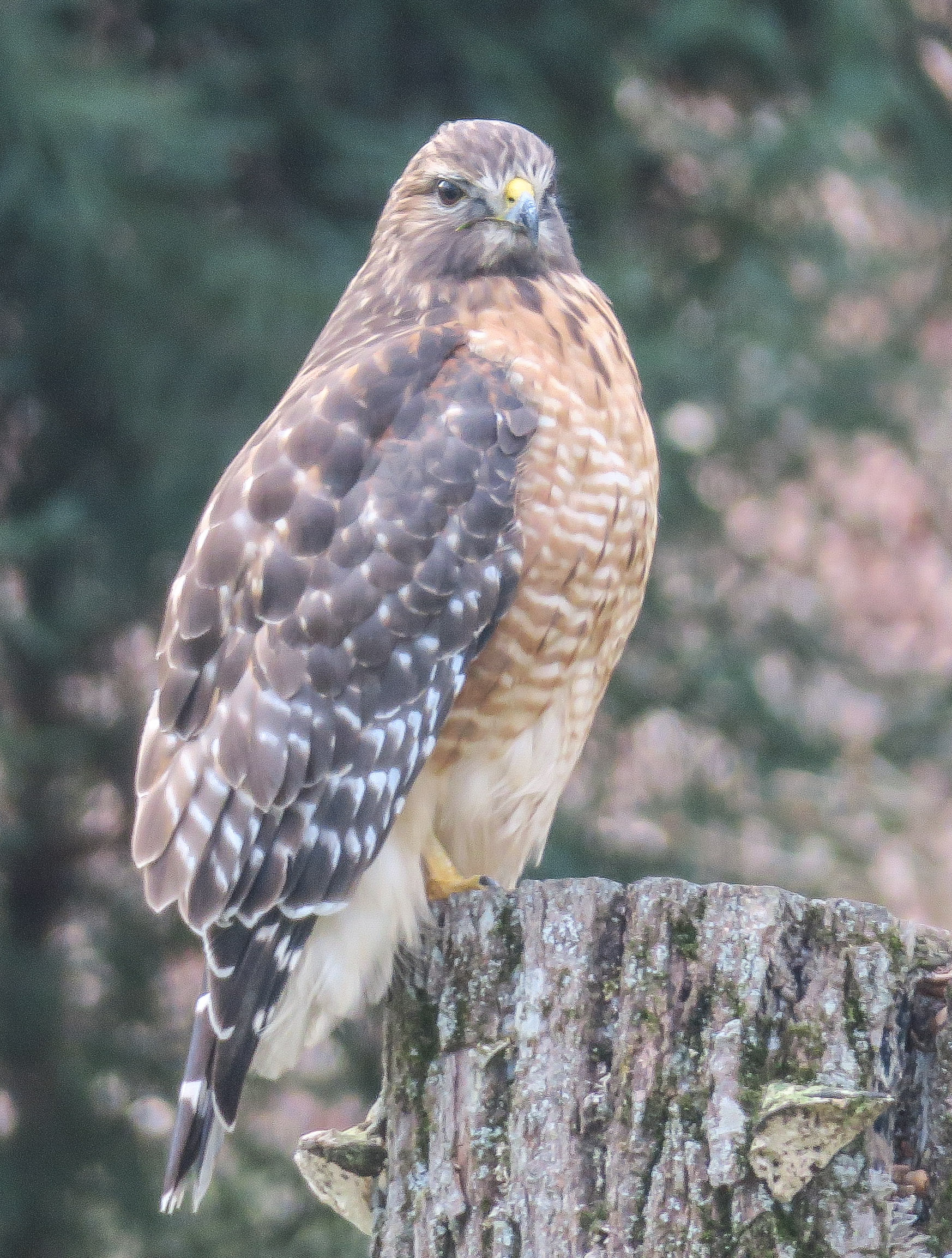 Red Shoulder Hawk 1137