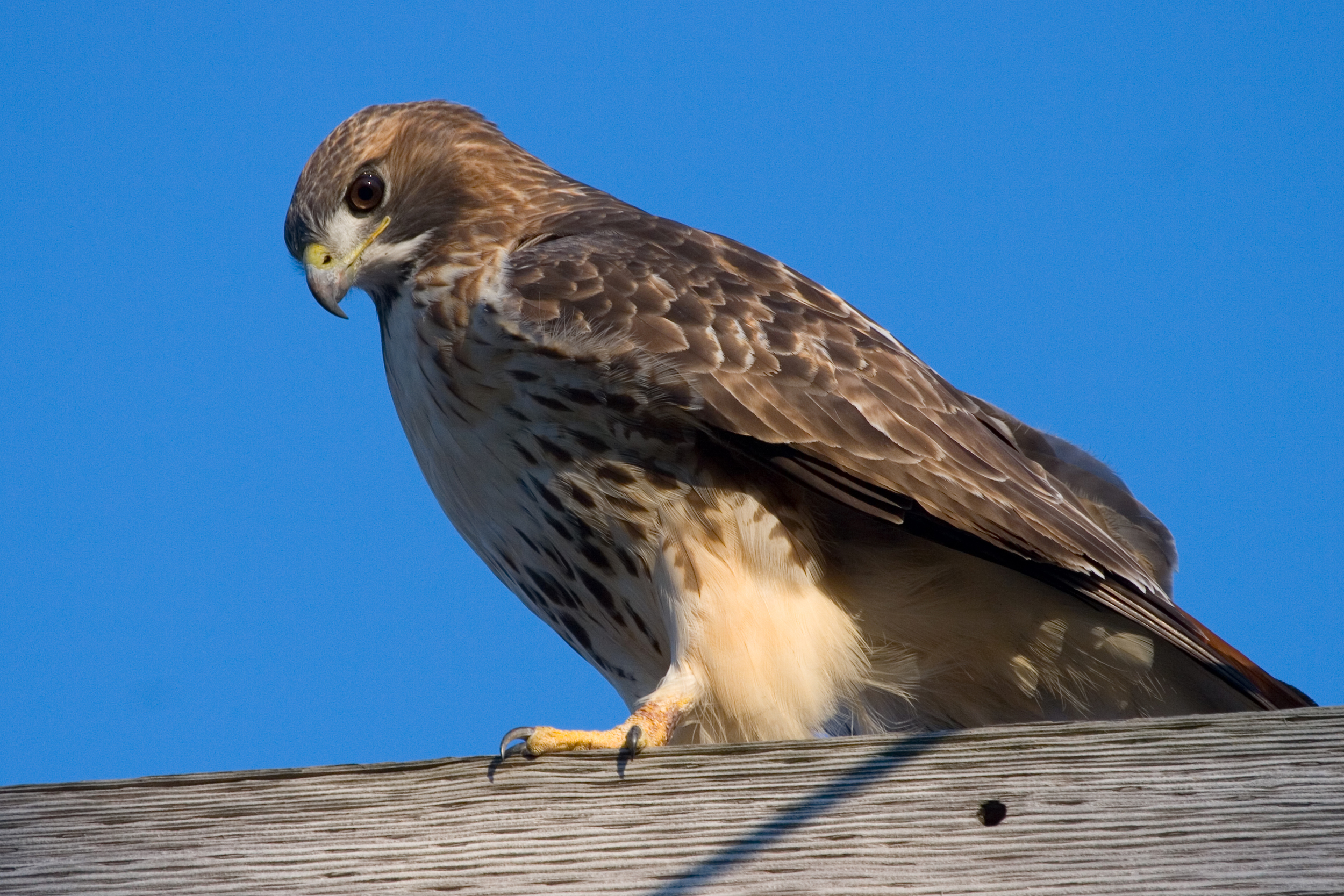 Red Tail Hawk 1038