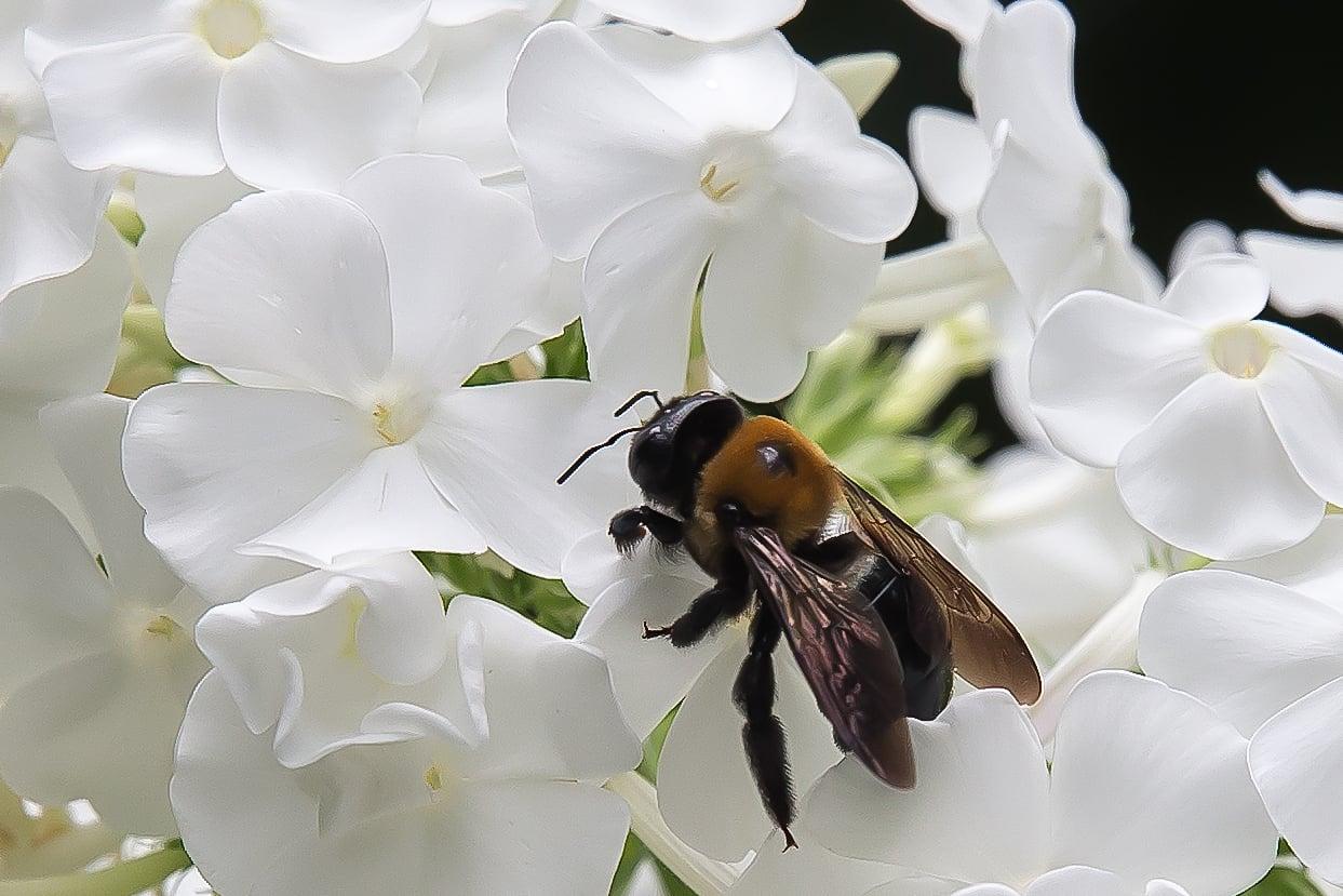 Bee in the Phlox