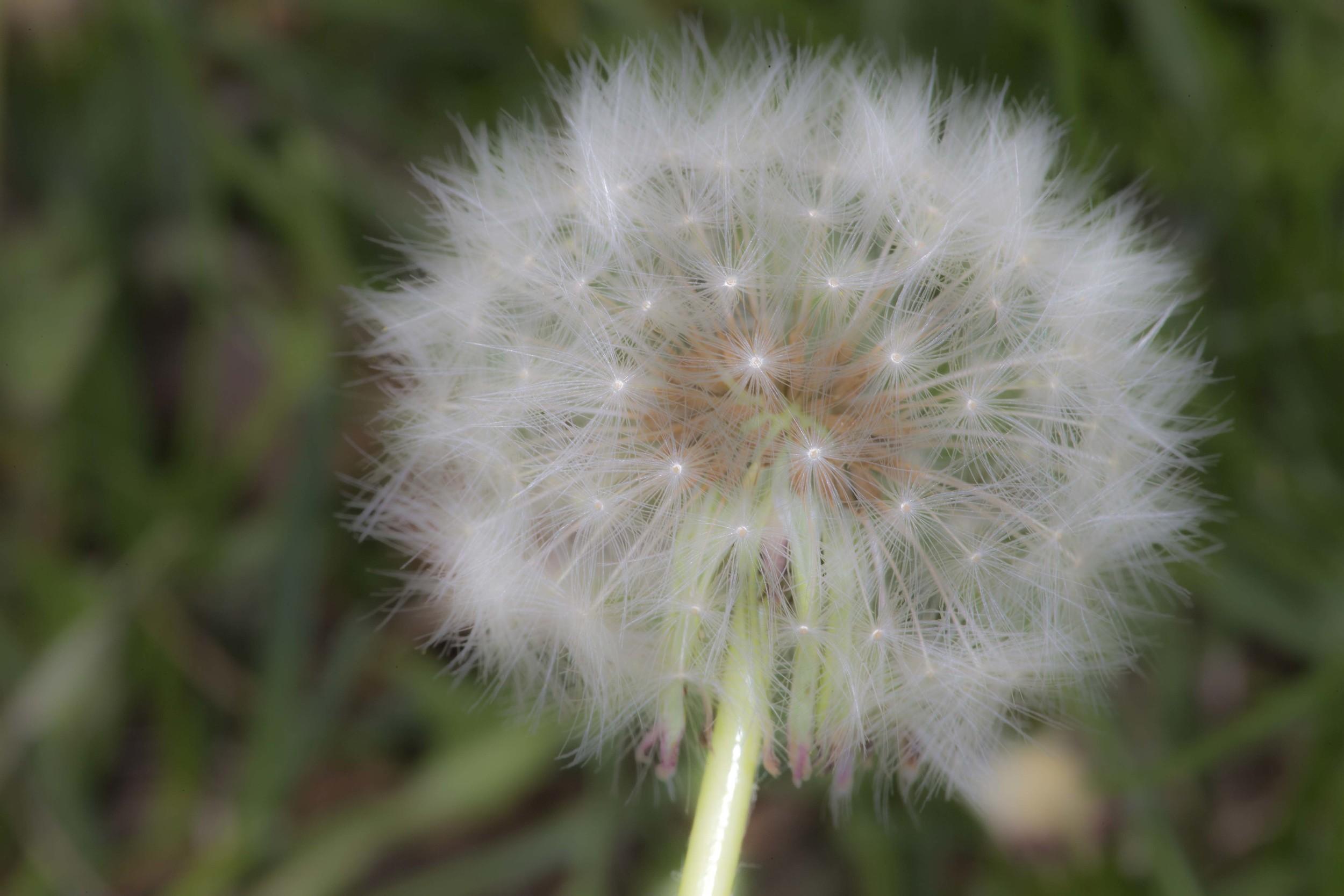 Dandelion 1182