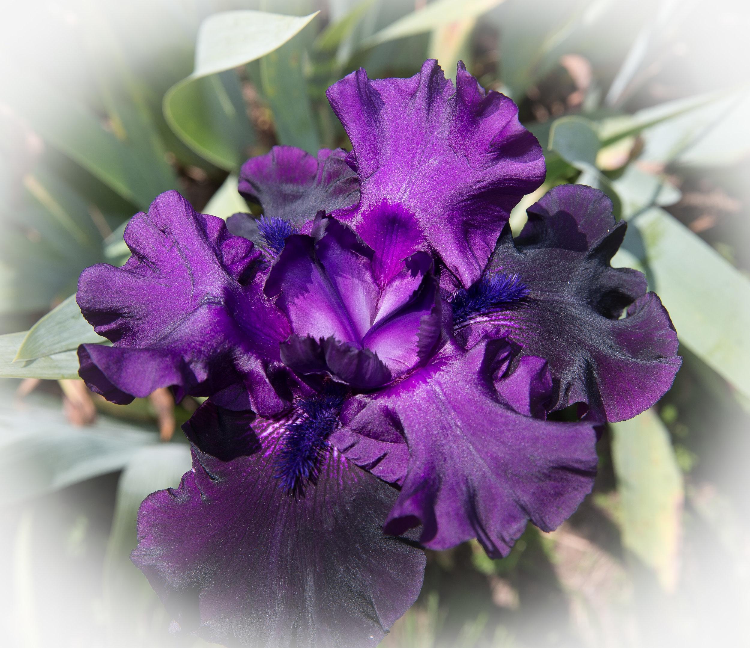 Presby Iris # 3 1200