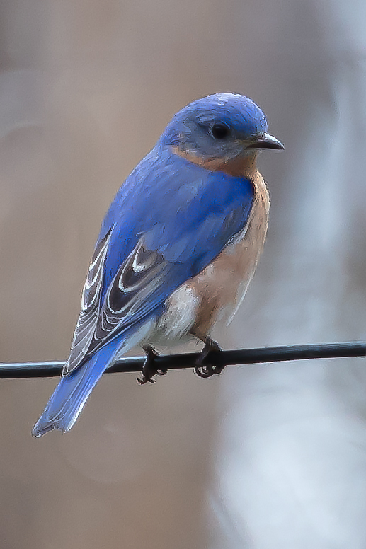 Bluebird11-.jpg