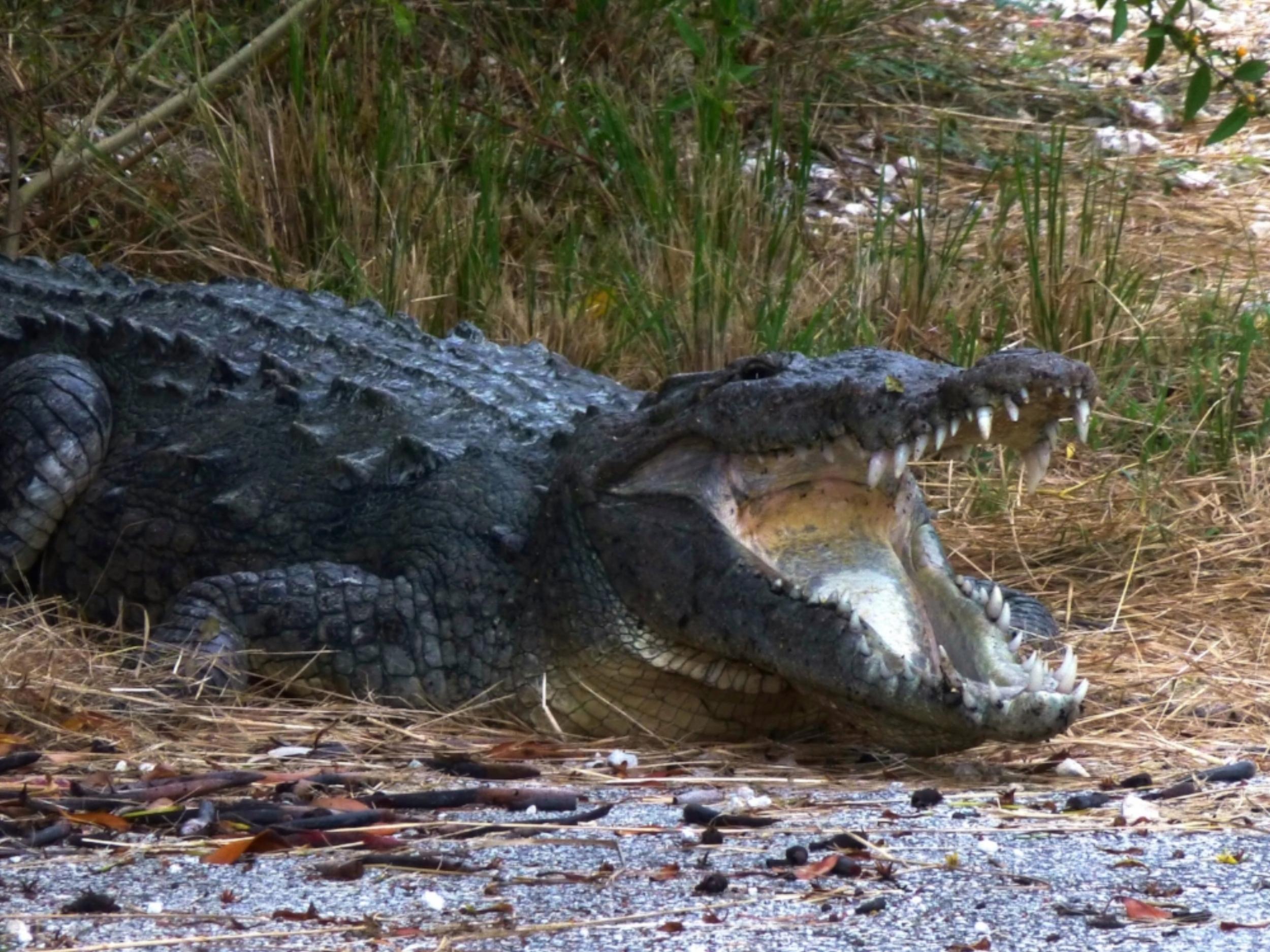 American Crocodile, Everglades National Park
