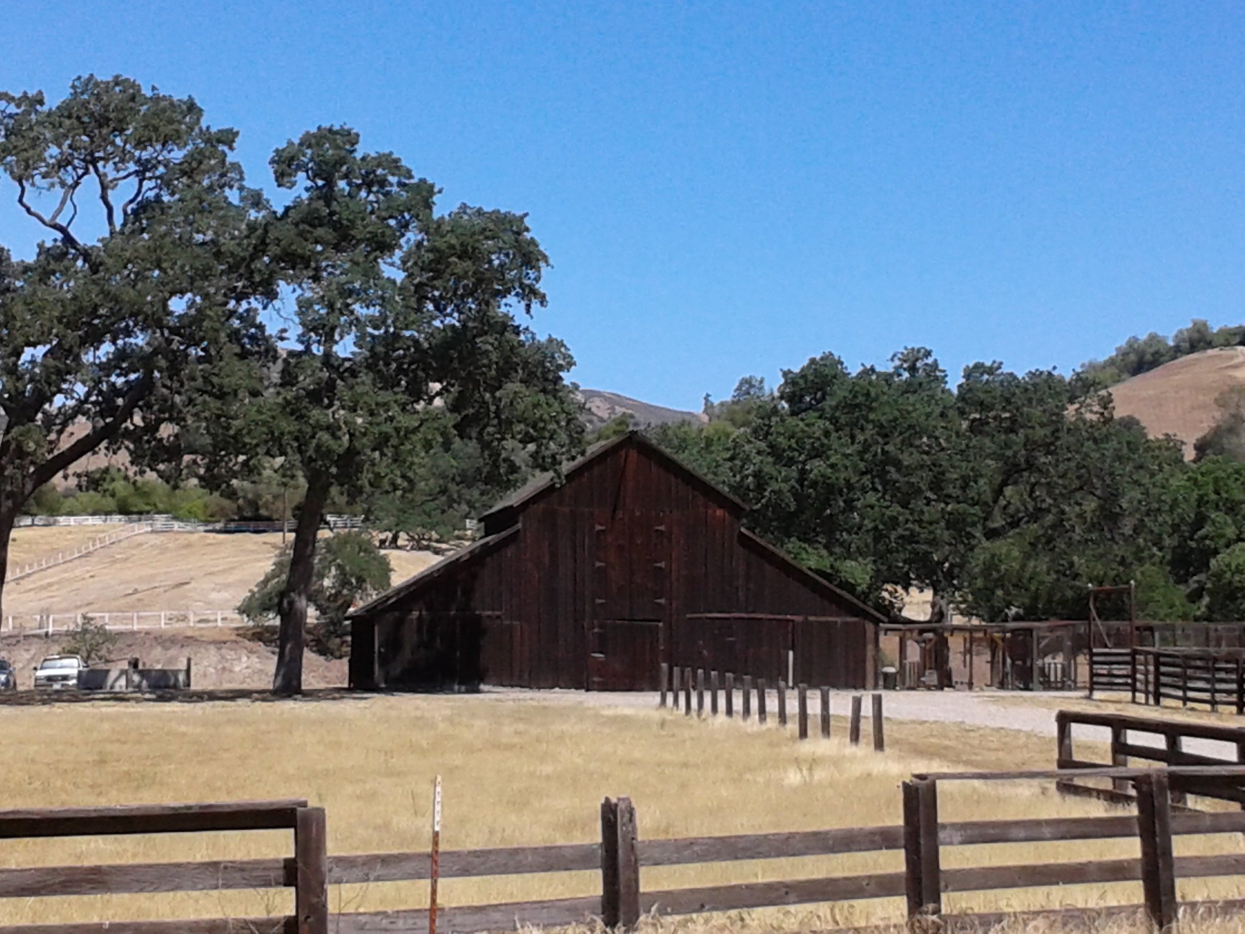 Live oak in the Santa Ynez Valley, CA
